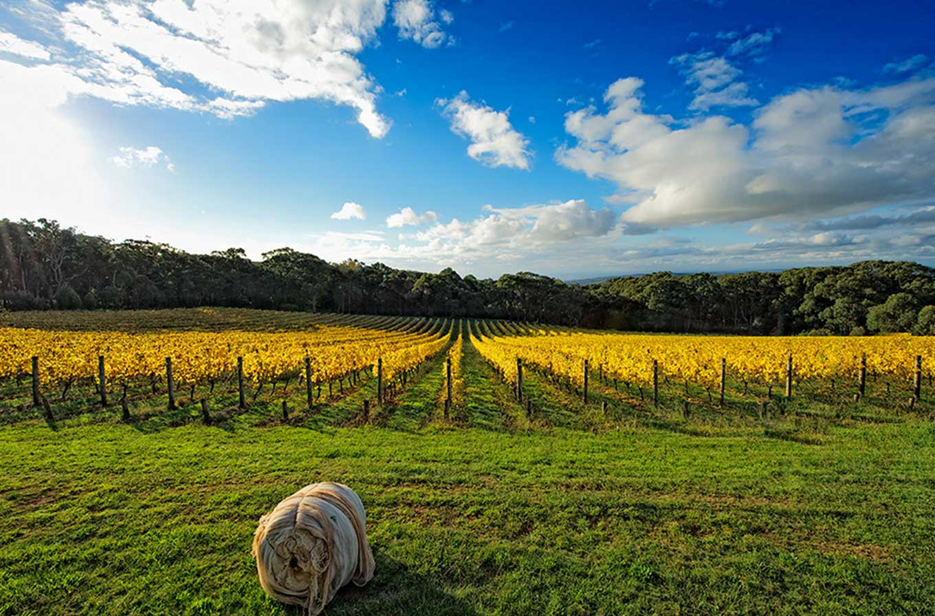 polperro winery Mornington peninsula